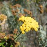 Une fleur d'immortelle