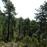 Un belle forêt de pins