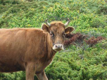 Une vache sur le Cuscionu