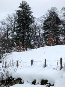 Des pins sous la neige à Tattone