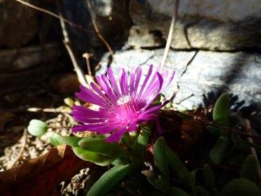 Une jolie fleur à Poghju