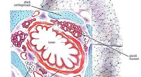 fibroza-chistica-microviscidoza