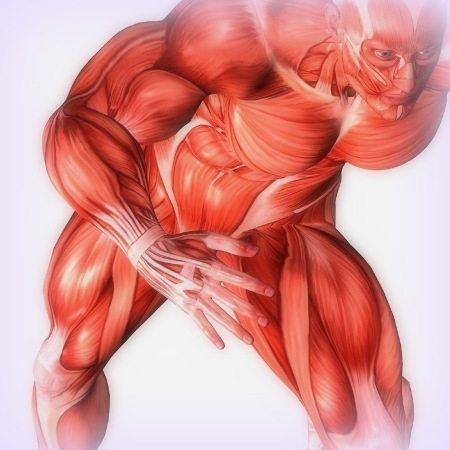 sistemul-muscular-muschi