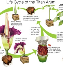 illustration the life cycle of the titan arum  [ 1198 x 782 Pixel ]