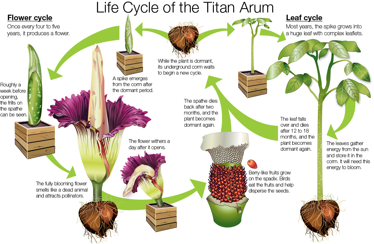 hight resolution of illustration the life cycle of the titan arum