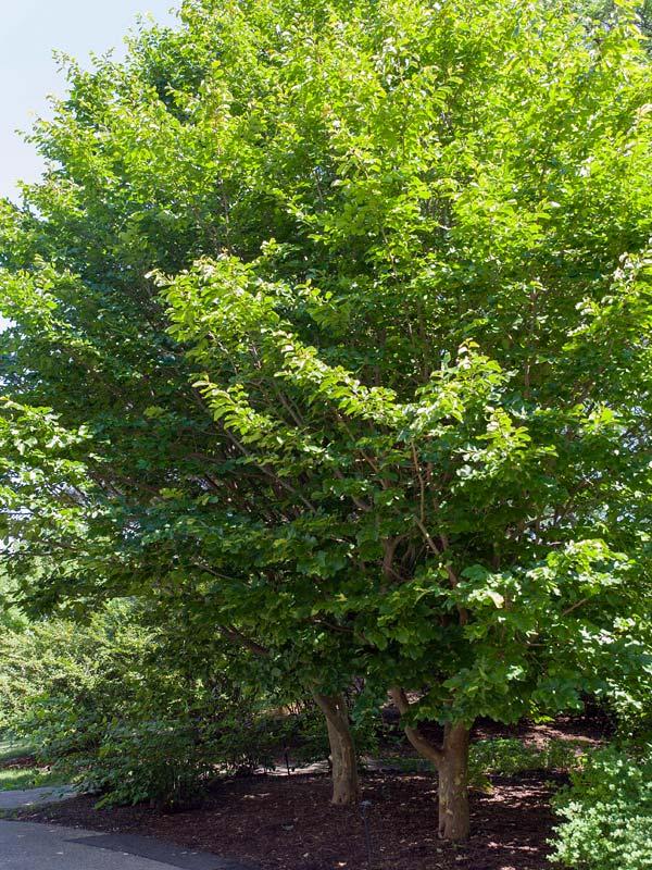 Persian Ironwood Chicago Botanic Garden