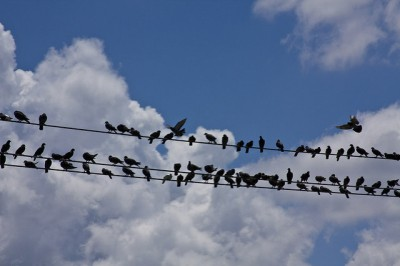 birds telephone line