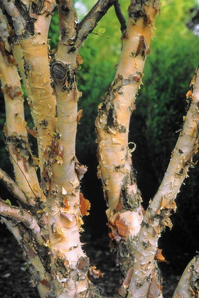 river birch might be