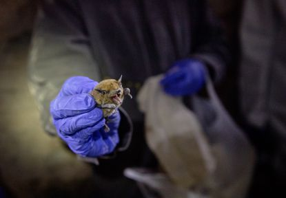 How do bats live with so many viruses? - Chicago Tribune
