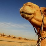 Camel Milk – What You Didnt  Know!