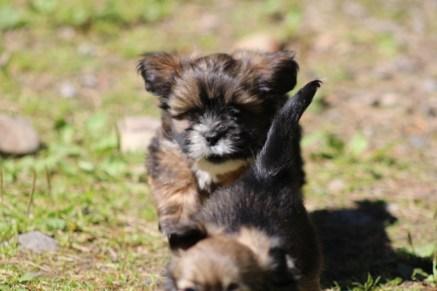 Annies pups Sylvester 2016 1