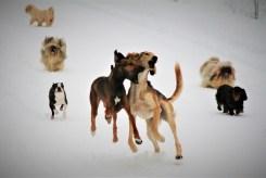 Koirien ilo