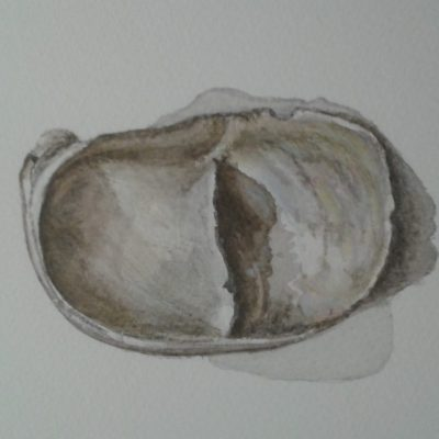Slipper limpet - water colour - 30cmx33cm - by Julie Lewington