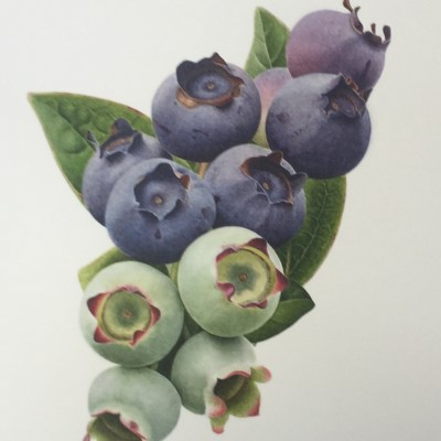 Blueberries 'Spartan' - watercolour on paper