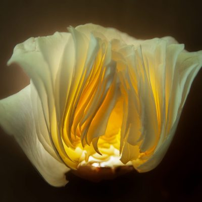 Tulip - Carbon pigment print - 20x30 - by Peter Moseley