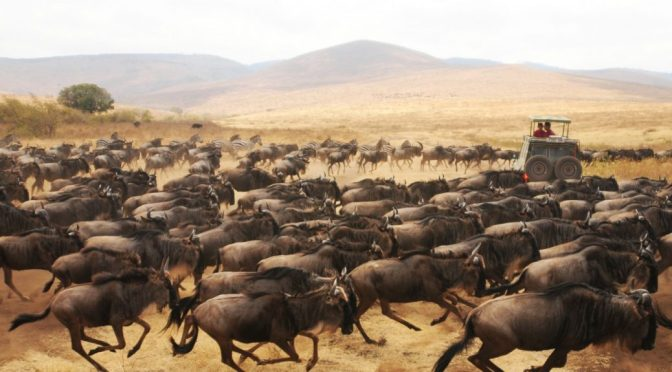 Wildebeest Migration Stampede in Serengeti National Park