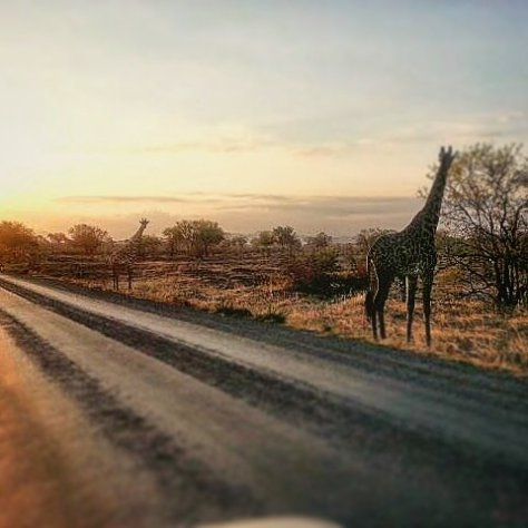 Two giraffes by the road, Mikumi National Park, Tanzania