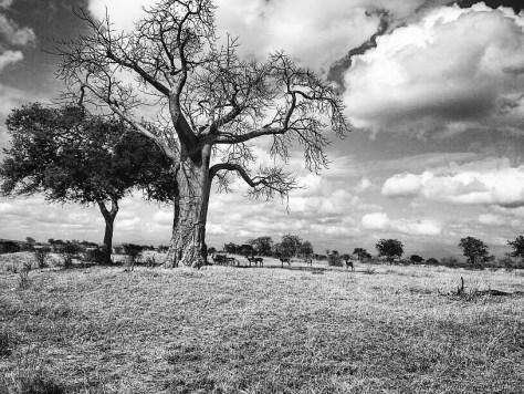 Trees in Mikumi National Park, Tanzania - Black and white