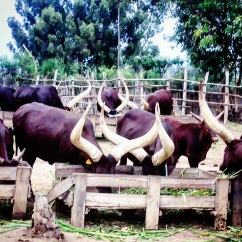 Cows at the King's Palace Museum in Nyanza, Rwanda