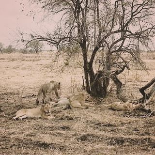 A pride of lions in Mikumi National Park