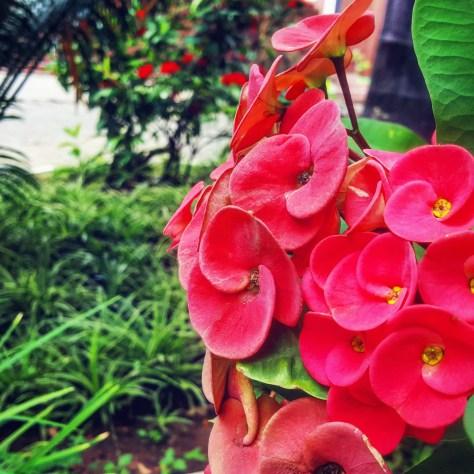 nature views: red flowers in Dar es Salaam, Tanzania