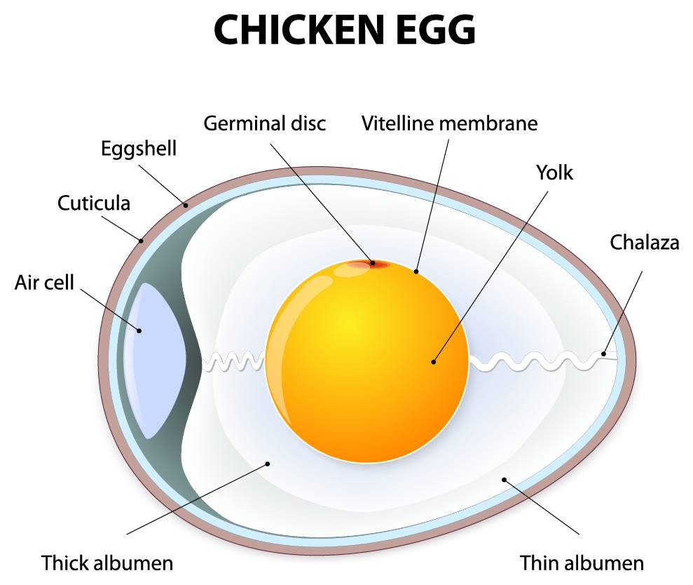 medium resolution of egg structure the structure of an egg the poultry pages diagram of egg formation diagram of egg