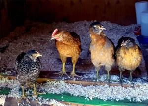 chicks_4chicks_coopdoor_630x451
