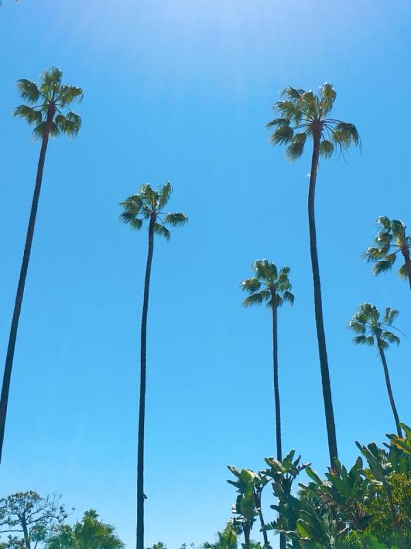 The palm trees in front of The Beverly Hills Hotel