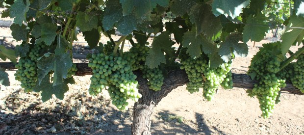 Moschofilero grapes ripen on the vine at the Abbey of new Clairvaux in Vina. (Steve Schoonover -- Enterprise-Record)