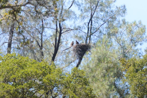 Two bald eagle nestlings can be seen Friday in a tree by the diversion pool in Oroville.