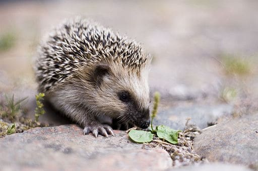 512px-Keqs_young_european_hedgehog1