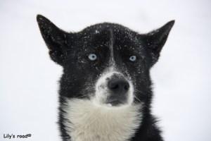 Chalk chien de traineau