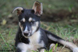 Planning chien de traineau