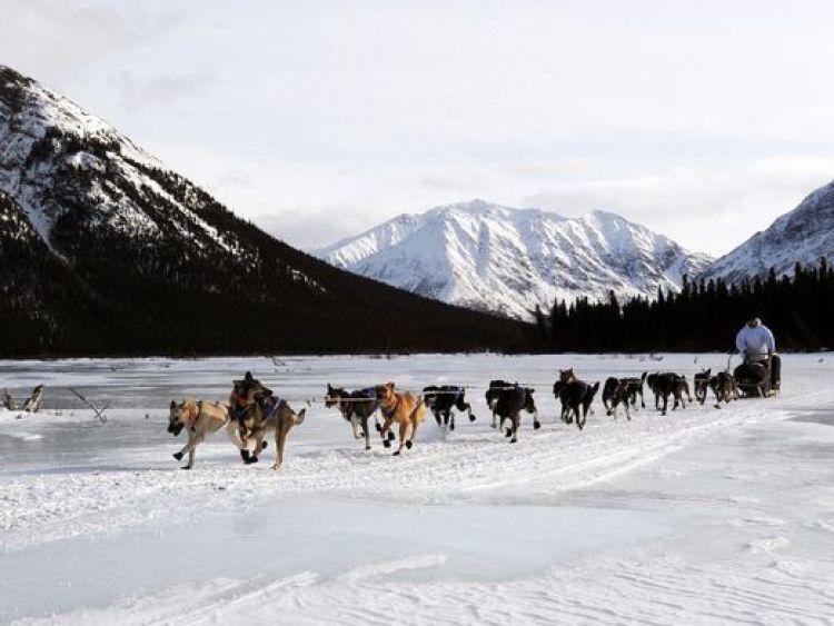 Alaskan Husky Jeff King Iditarod