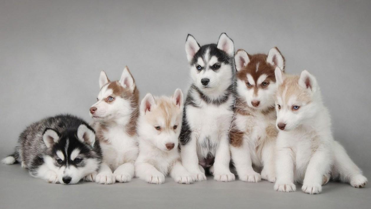 Alaskan Husky Encephalopathie AHE