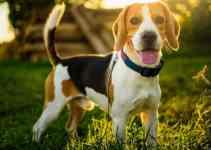 Beagle bien dressé comment faire pour réussir facilement?