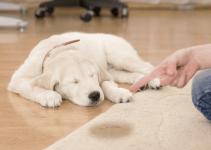 Comment faire pour empêcher un chien de faire pipi dans la maison