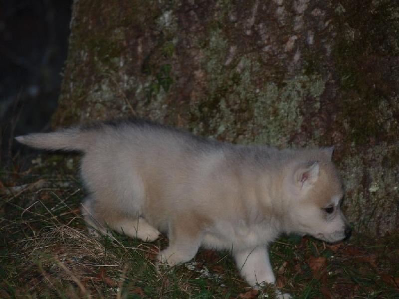 Chiot Siberian Husky CHIOT Femelle Masque Femelle