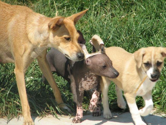 http://de-korrantoh.chiens-de-france.com/chien-nu-du-perou,de-korrantoh,rubrique_20772_37110_1_0.html