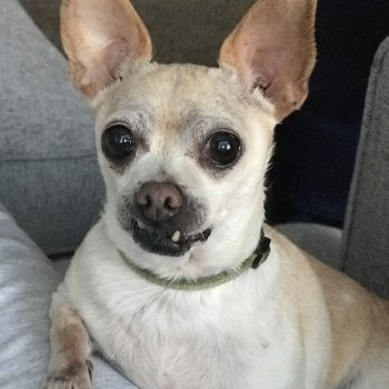 midwest chihuahua rescue transport