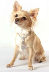 Designer Dog Accessories For Chihuahuas and Smaller Dogs ...