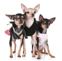 Chihuahua Clothes and Accessories at The Chihuahua Wardrobe!