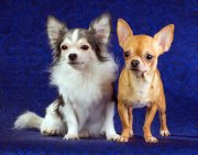 amazing facts chihuahuas
