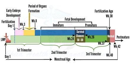 fetal viability by week chart - Lcm-ua.org
