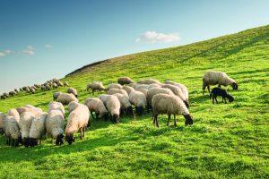 Lammfelle sind nicht nur warm und flauschig, sondern auch antibakteriell und selbstreinigend.