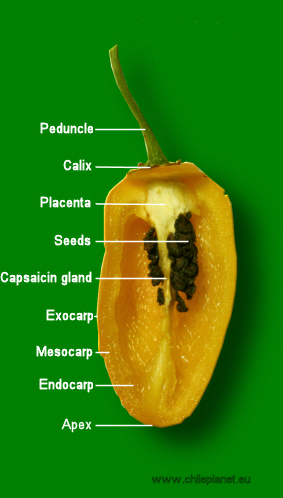 Anatomy of chili