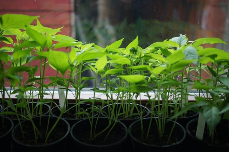 Jungchilli auf der Fensterbank