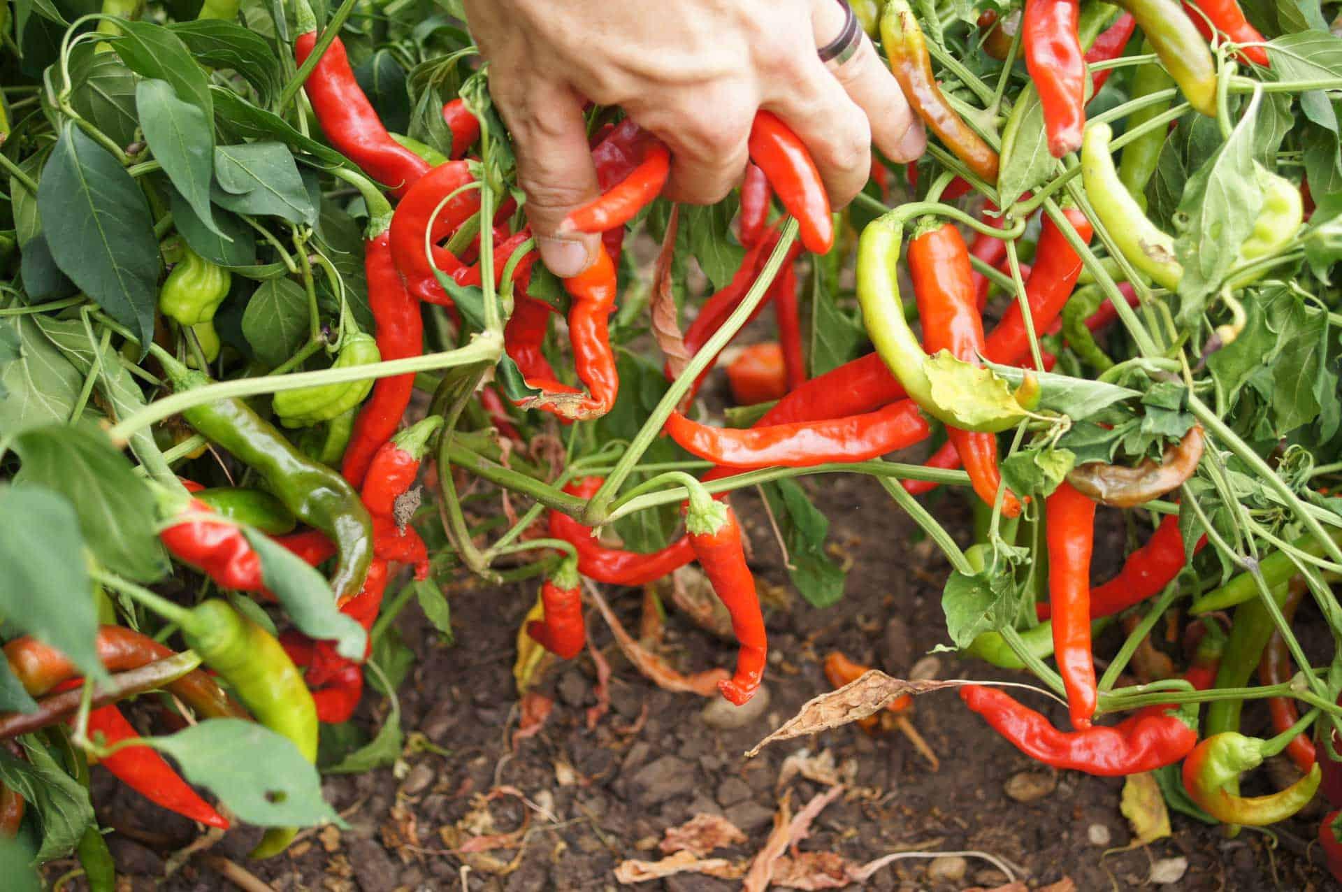 - Facing Heaven  -Large  – 20 finest seeds Chilli Vegetable Pepper