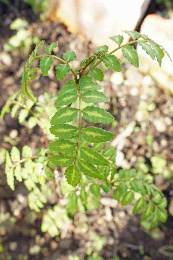 Sansho (Japanese Pepper) leaves