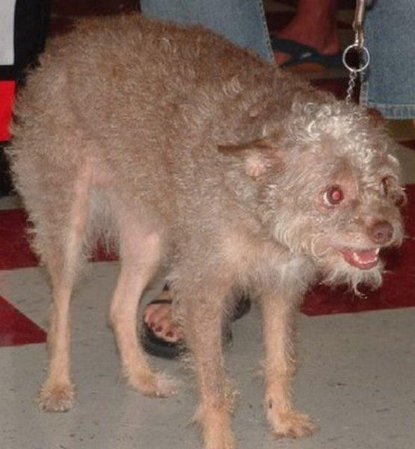 top ugliest dog around the world